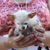 Concours du chien le plus laid du monde – 2011