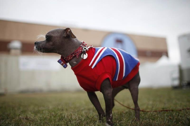 Concours du chien le plus laid du monde en 2012
