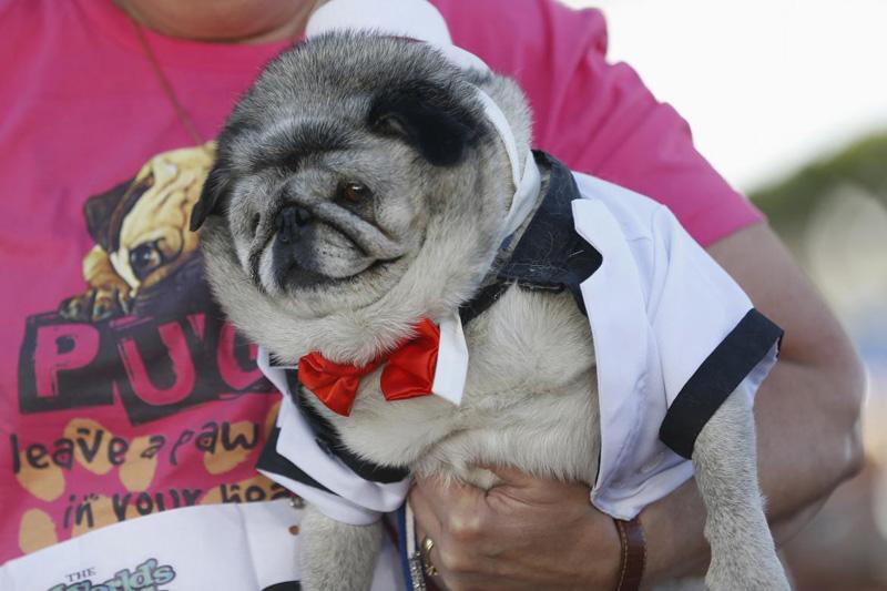Concours du chien le plus laid du monde en 2014