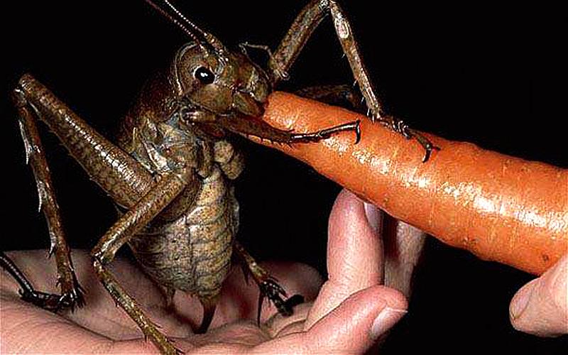Gros criquet grosse sauterelle
