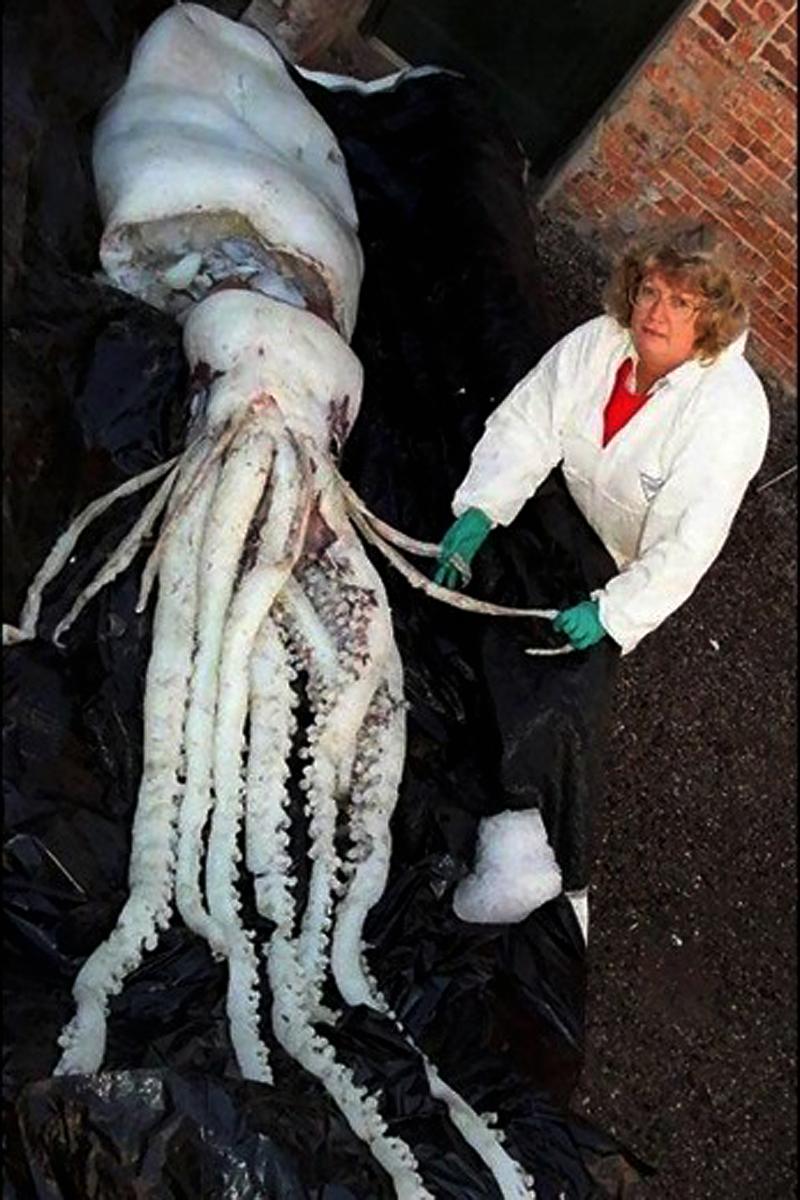 Gros calamar grosse sèche calamar géant