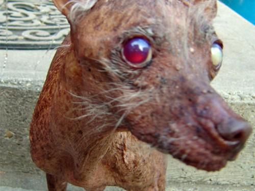 Concours du chien le plus laid du monde 2007