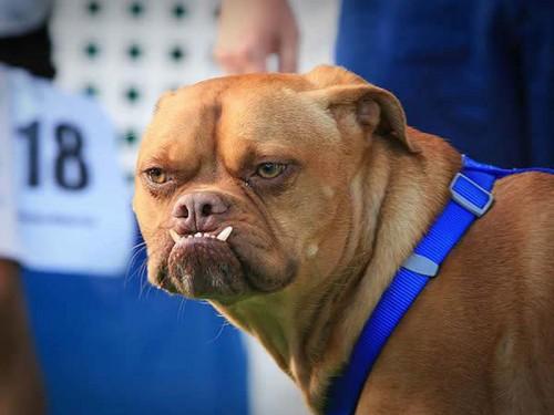 Concours du chien le plus laid du monde 2009