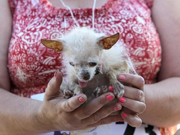 Concours du chien le plus laid du monde 2011