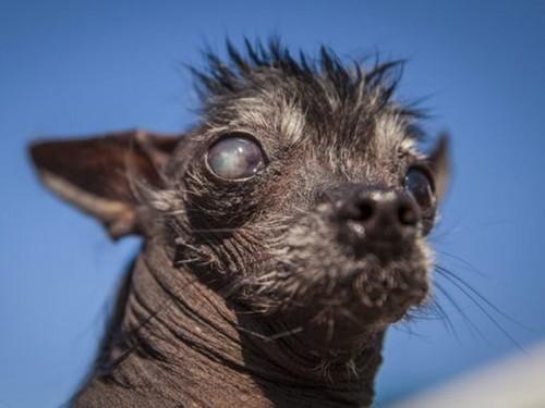 Concours du chien le plus laid du monde 2016