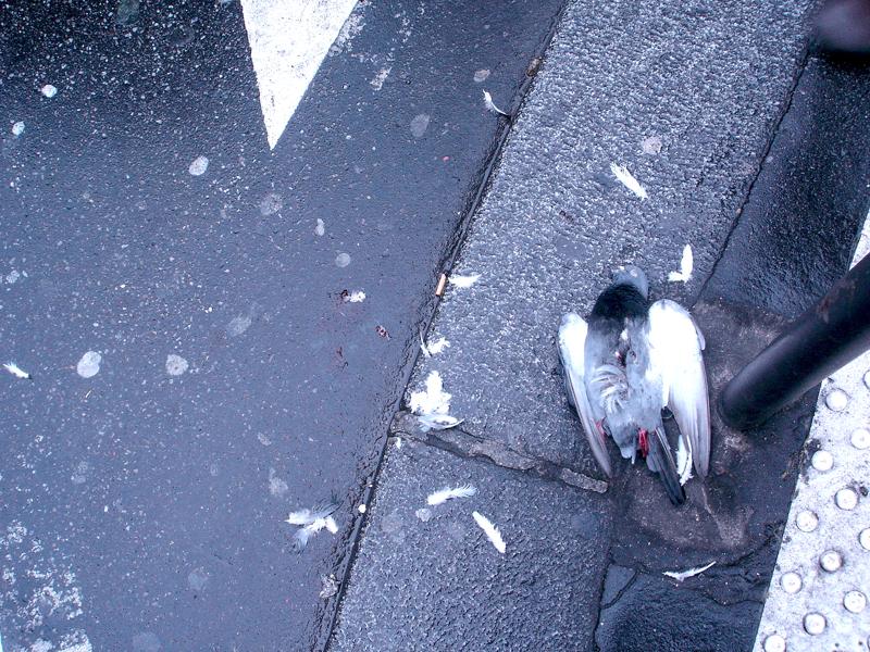 Pigeons écrasés