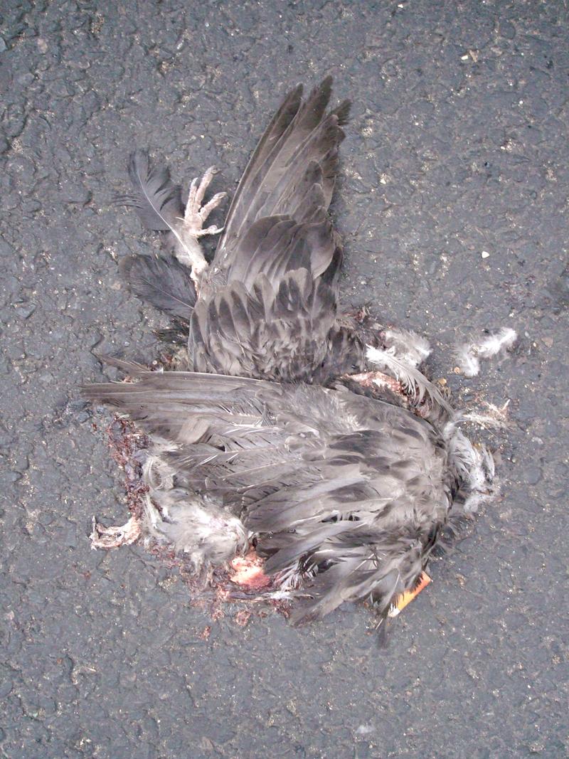 Pigeons Morts