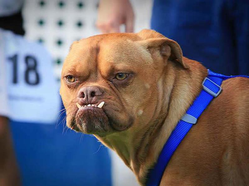 Concours du chien le plus laid du monde en 2009