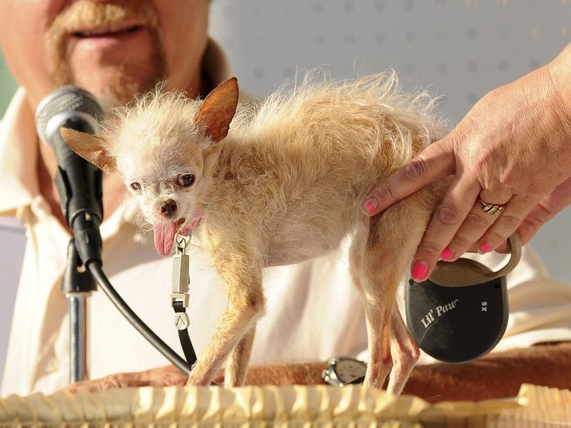 Concours du chien le plus laid du monde en 2011