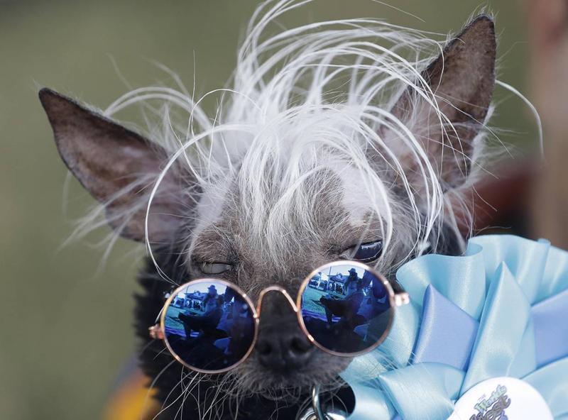 Concours du chien le plus laid du monde Winner 2018 World's Ugliest Dog