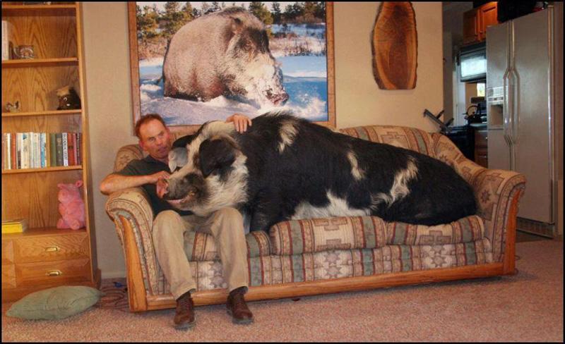 gros cochon grosse truie