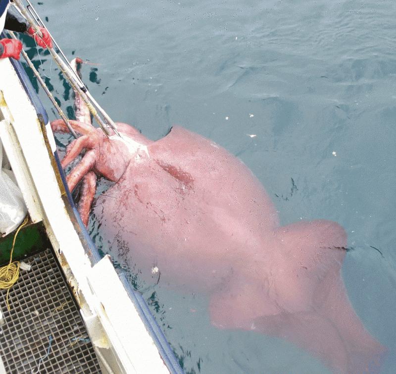 Gros calamar